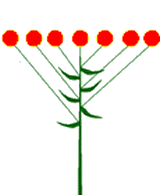 Corymbe